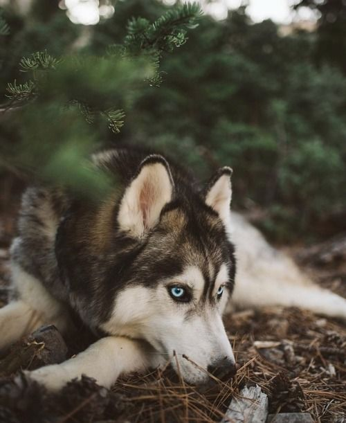 Husky Cratemat Cratebed Petbeds Dogs Pets Herodog Siberian