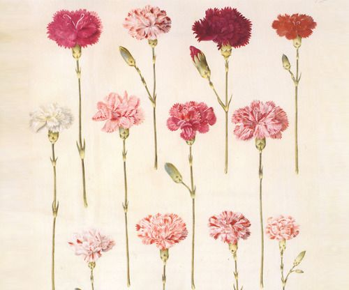 Don't know if I have ever seen a carnation tattoo. These are beautiful.