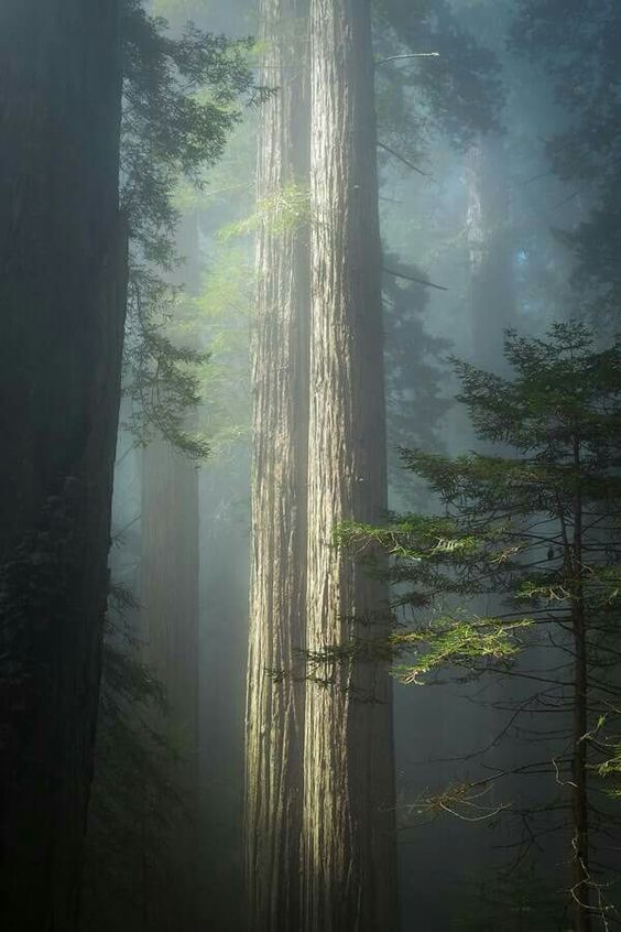 Giant Red Woods Northern California