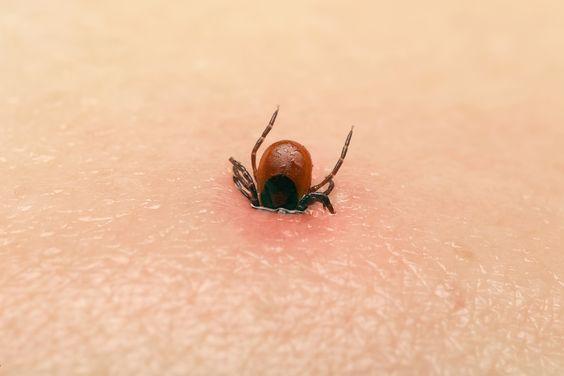 Een tekenbeet is meestal onschuldig, maar soms dragen ze de bacterie van de ziekte van Lyme met zich mee. Verwijder de teek zo snel mogelijk op deze manier!: