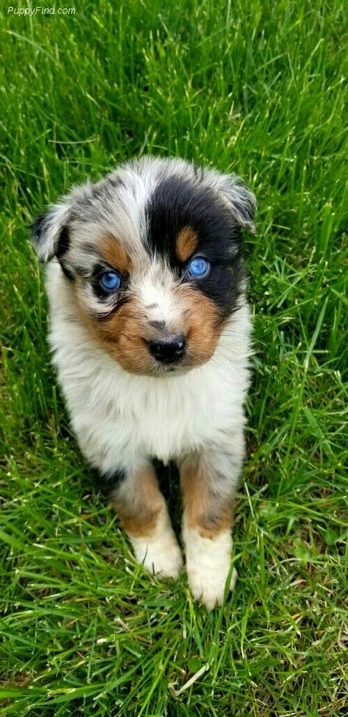Pin By Stephen Blackwell On Aussie Dog House Aussie Dogs Australian Shepherd Dogs Dogs