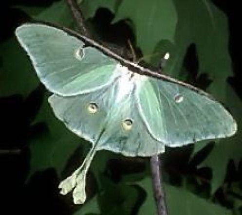 Die Echte Luna Moth Arthropods Arthropods Classification Arthropods Arthropodsactivity Arthropods Arthropodsactivity C Luna Moth Moth Arthropods