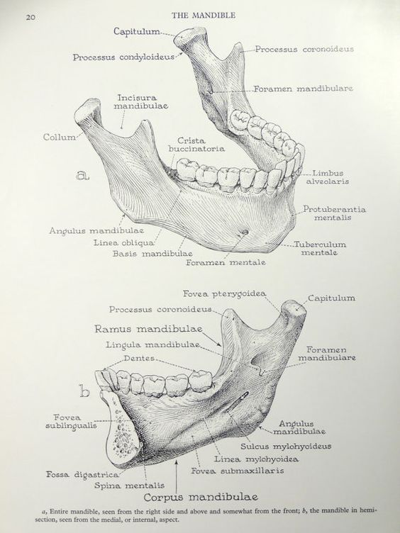 Jaw anatomy diagram