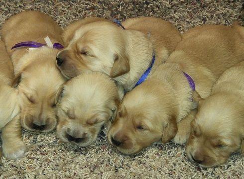 Litter Of 9 Golden Retriever Puppies For Sale In Gridley Ks Adn