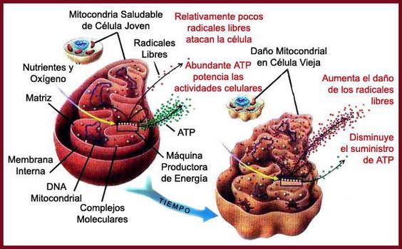 estres oxidativo y daño celular bipolaridad - Buscar con Google: