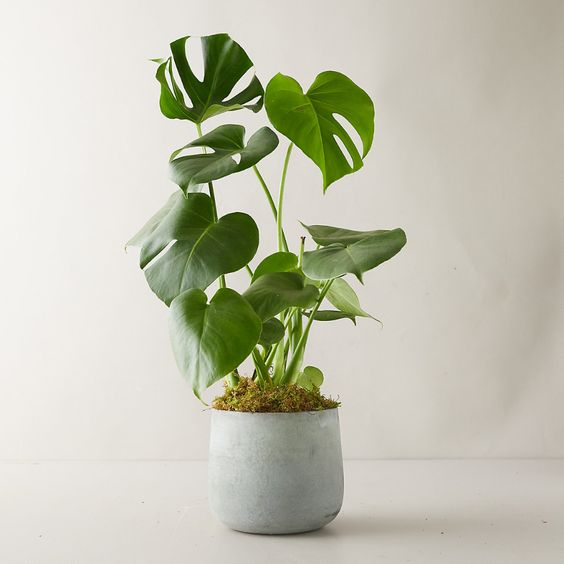 Monstera Deliciosa Plant, Modern Pot - Terrain