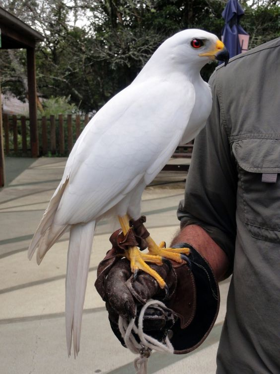 Some say that the white morph of the Grey Goshawk are the only raptors with pure-white plumage in the world (nonalbino). All I know is that they are pretty neat.