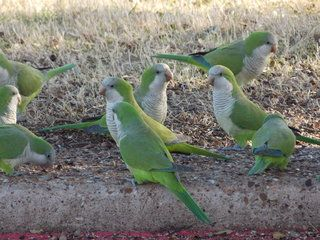 Wild Quaker Parrots of Irving, Texas: