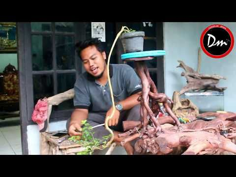 Bonsai Sisir Kaliage Gaya Terjun Youtube Bonsai Youtube Sisir
