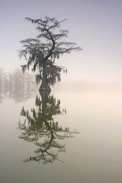 Crooked Cypress, Lake Martin, Cypress Island Nature Preserve, Louisiana.: