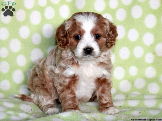Stella, cavapoo puppy for sale from Paradise, PA