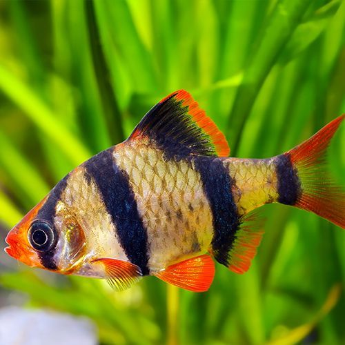 Tiger Barb Care Tank Mates And More With Images Aquarium Fish Tiger Fish Best Aquarium Fish