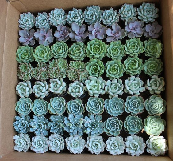 "succulents in bulk -- 128 in 2"" plastic bins for $168"