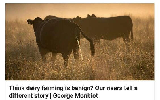 Dairy Farming & Our Rivers ----> www.theguardian.com/environment/2015/oct/05/think-dairy-farming-is-benign-our-rivers-tell-a-different-story