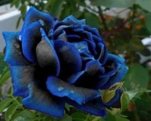 0 06 Midnight Blue Fresh New Rose Flower Seeds 50 Plant Garden Home Fragrant Vintageadvertising Vintagememorabilia Rose Seeds Hybrid Tea Roses Flower Seeds