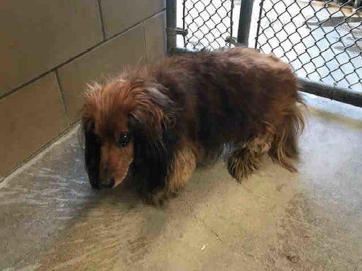 Agoura Ca Dachshund Meet Fred A Pet For Adoption Pet Adoption Pets Dog Adoption