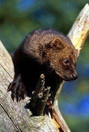The fisher a forest predator which is also referred to as
