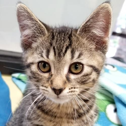 Hi I M Barbaro I M A 2 Month Old Neutered Male Brown Tabby Domestic Short Hair Cutekittens Kittens Catsandkitt Tabby Kitten Tabby Cat Tabby Cat Pictures