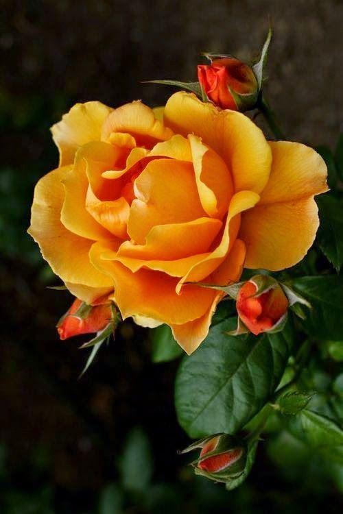 Orange rose: