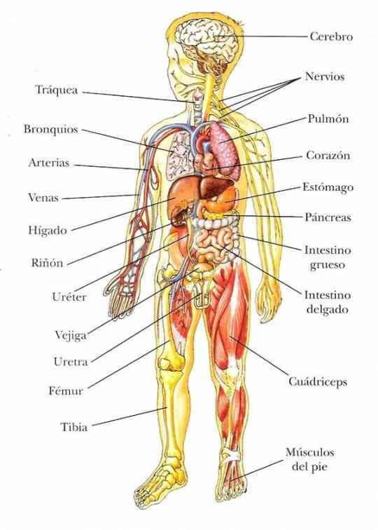 Partes Internas Del Cuerpo Cuerpo Humano Imagenes Cuerpo Humano