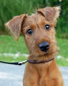 .Irish Terrier Puppy
