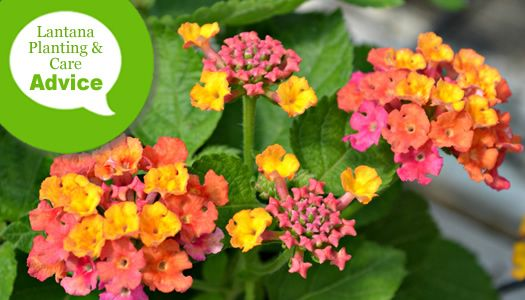 How To Plant And Care For Hardy Perennial Lantana Plants In The Ground And In Pots Lantana Plant Lantana Plants