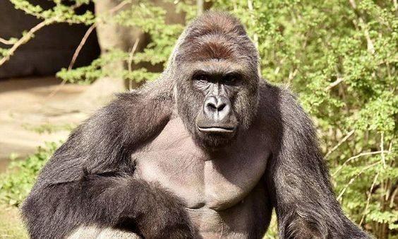 'We are not amused': Cincinnati zoo shuts down its Facebook and Twitter accounts after staff became fed up with jokes and memes about Harambe the dead gorilla | Daily Mail Online