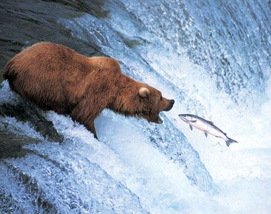 Image result for bear and salmon flick