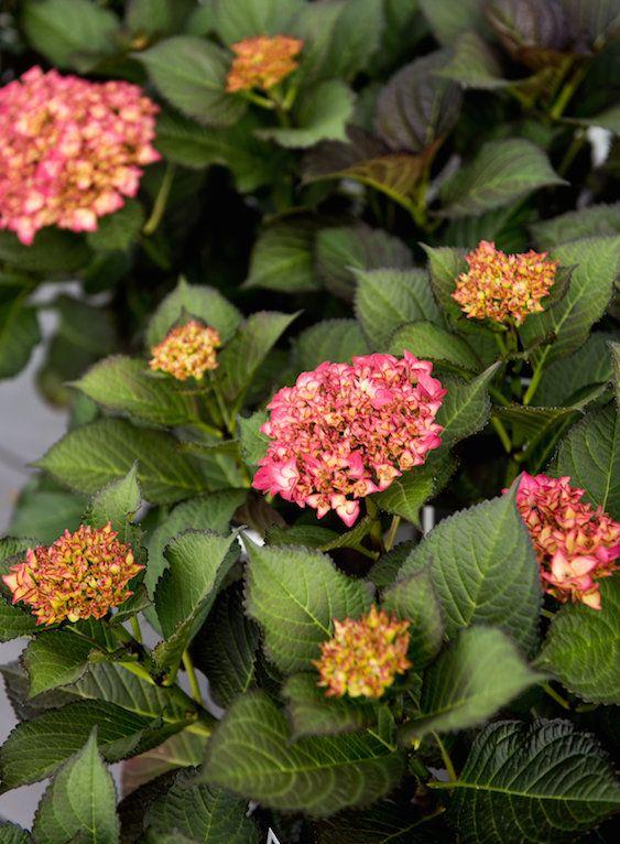 Dark Foliage Hydrangea Planting Hydrangeas Hydrangea Plants