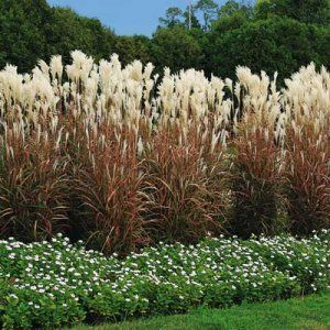 Tall ornamental grass red flame ornamental grass for Fast growing ornamental grass