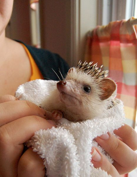 """""""My hedgehog hates bathes but it is worth it for him he loves to be blowdried"""":"""