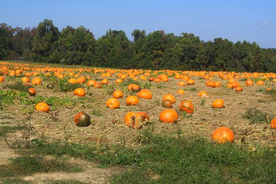 Learn How to Pick the Perfect Pumpkin >> http://blog.diynetwork.com/maderemade/2013/09/28/how-to-select-the-perfect-pumpkin?soc=pinterest