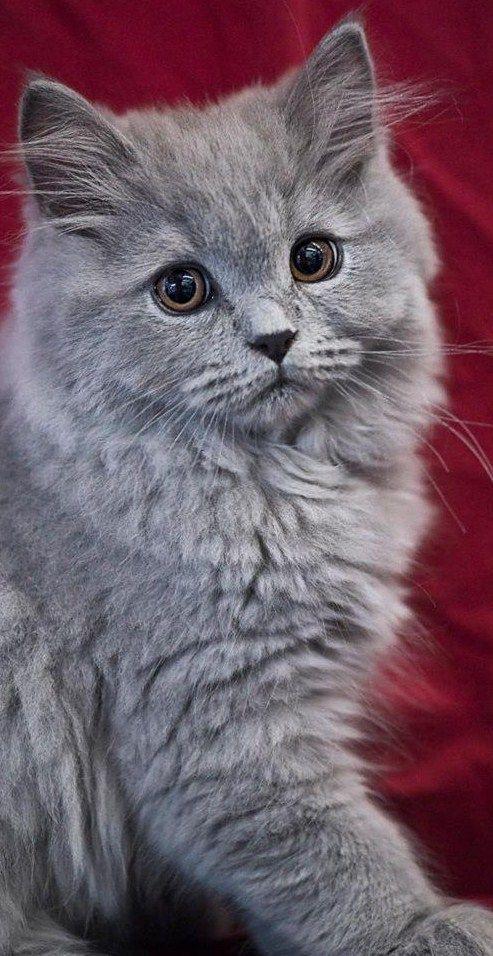 Very pretty kitten! British Longhair?: