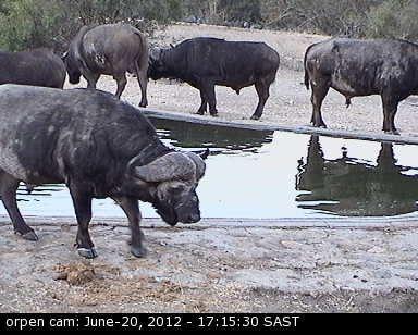 Wasserbüffel - Krüger Nationalpark
