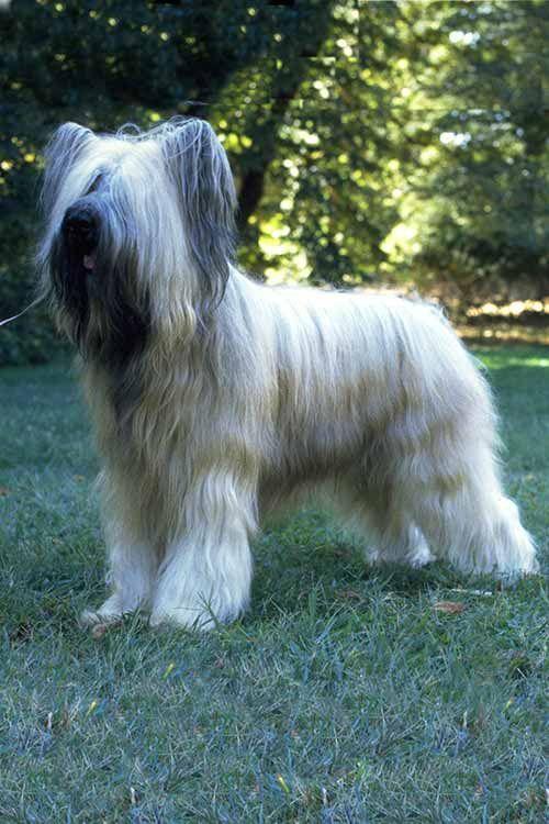 Briard Dog Breed Information Briard Dog Dog Breeds Dogs