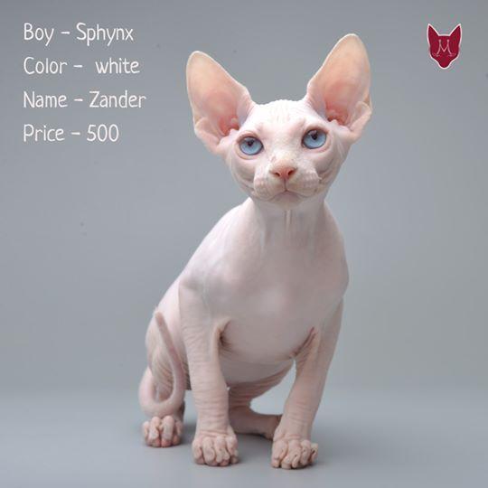 Kitten Of The Sphinx Zander Kennel Murmulet Hairless Cat Cats