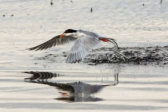 """Tern Fishing in Lower Klamath Lake (1 of 1)"" by jackwills:"