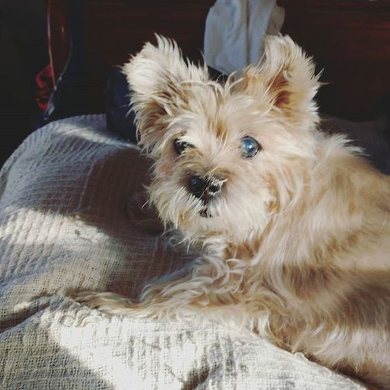 The grumpy old man loves weekends & staying in bed.... Especially when the sun is shining through the window on it. 🌞 #brunodean #rjvdogs #cairnterrier #grumpyoldman: