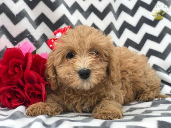 Mongo F1b Mini Cavapoo Puppy For Sale In Christiana Pa
