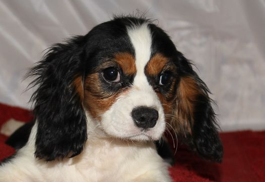 Conner Yorkshire Terrier King Charles Dog Cavalier King