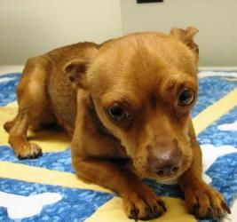 Adopt Sergio On Chihuahua Dogs Pets Dogs