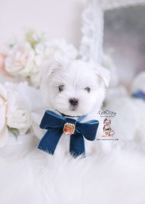 Maltese Puppies For Sale Teacup Puppy 337 Cuteteacuppuppies