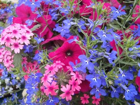 """Syngenta's """"Kwik Kombos"""" program takes the guesswork out of creating stunning container gardens with plants that grow well together. new mix """"Night in Pompeii""""  The eye-catching colors make wonderful containers and baskets.  www.calloways.com"""