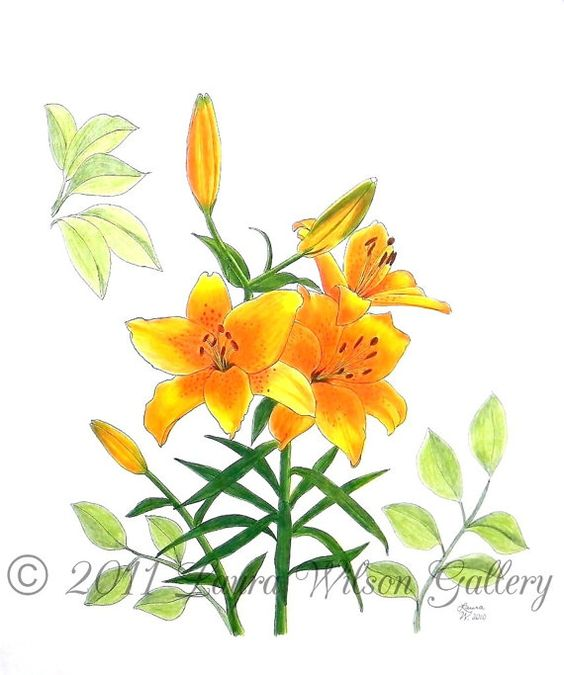 Asiatic  Lily Original Pen and Pencil by LauraWilsonGallery, $850.00