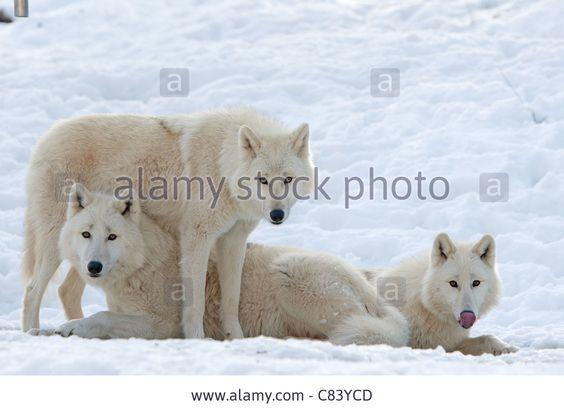 three Arctic Wolves in snow / Canis lupus arctos Stock Photo