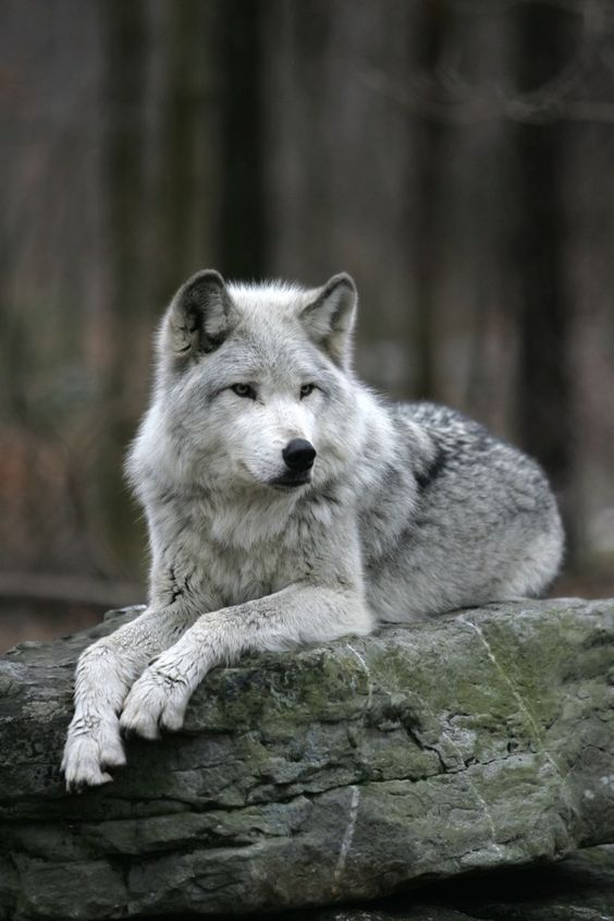 ... Search of the Oregon's Wild Wolf | Timber Wolf Information Network: