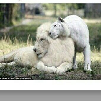 This is Ivory and Saraswati, a white lion and white tiger, parents of first litter of white ligers.