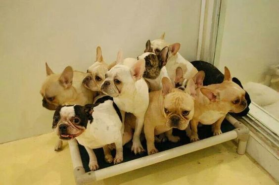 Full of Frenchies