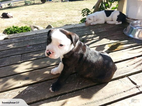 english staffordshire terrier for sale english staffordshire bull terrier puppies for sale on 4836