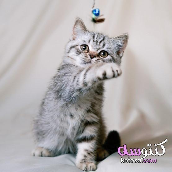 لمحبي القطط صور اجمل قطط في العالم 2020 صغيرة تجنن اجمل واروع صور قطط Kntosa Com 09 19 157 Animals Cats